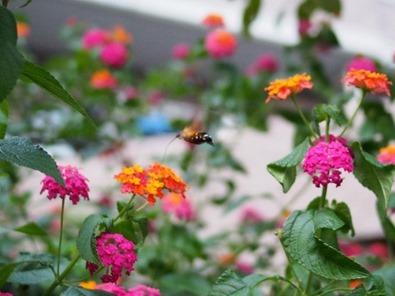ランタナの蜜を吸うスズメ蛾