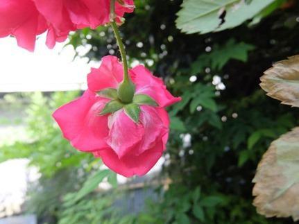 トマトみたいに見えるかな薔薇