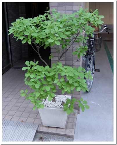 青葉の鉢植え