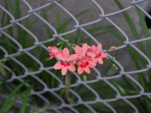 道端の花[4]