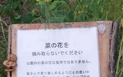 菜の花を摘み取らないで!