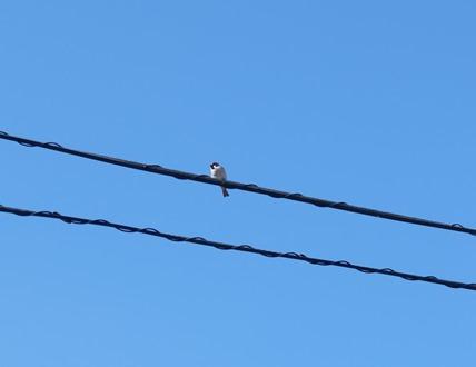 電線に雀が止まってた。