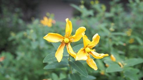 しおれた花