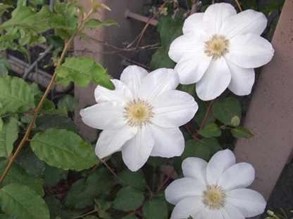 白い花ビラ8枚
