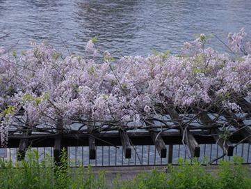 上に咲く藤の花