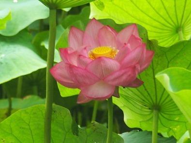 蓮の花[6]