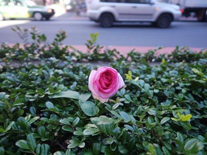 寒がりのバラ