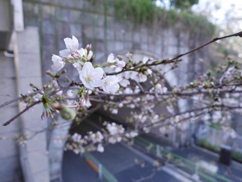 愛宕山トンネルの桜