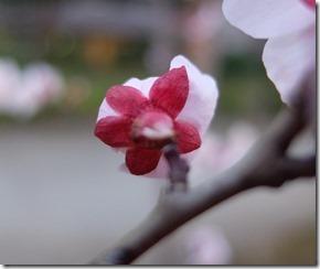 後ろから見た桜