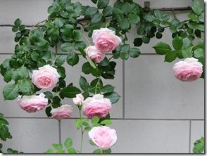 思いバラの花