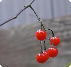 南天の真っ赤な実