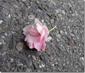 道に落ちた八重桜「