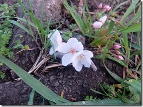 地桜[4]