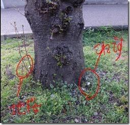 本当に地面に咲くソメイヨシノです。