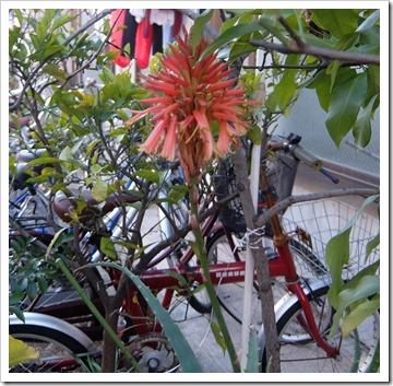 アロエの花[6]