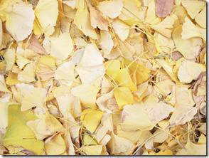 銀杏の葉っぱで敷き詰められた地面