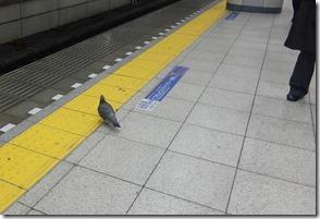 黄色い線で待つ鳩