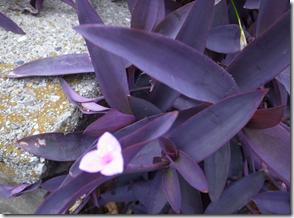 尖った形状の紫ががった葉