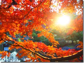 楓に朝日が差し込んでいます。