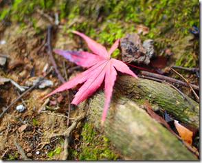 地面に落ちた一枚の楓も色づいています。