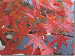 楓の繊細な紅色は表現できません。