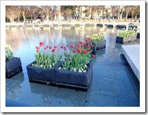 上野公園の噴水のチューリップ