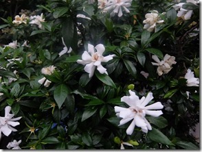 クチナシの花がー