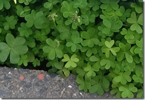 ハートの葉っぱのクローバー