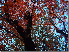 紅葉した桜