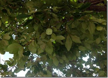 柿の青い実