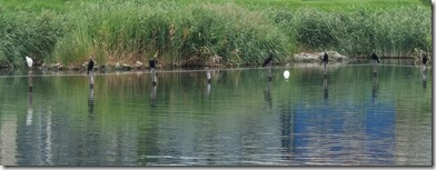 白黒並ぶ鳥